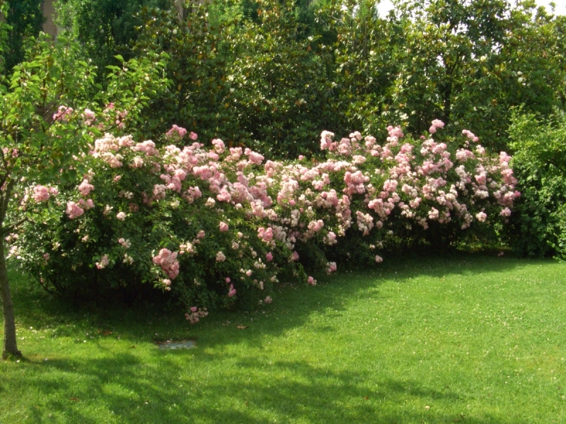 L 39 orto e altri maestri conoscere le rose for Rose tappezzanti